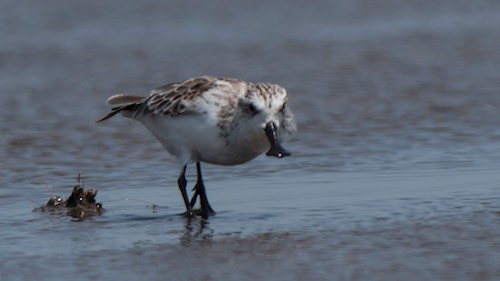 Spoon-billed Sandpiper and Waders in Go Cong